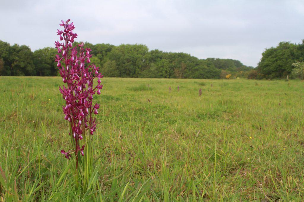 orchis à fleurs laches