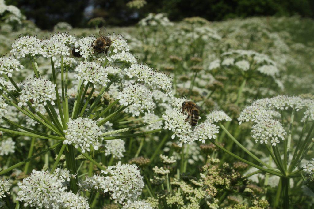 abeilles sur oenanthe