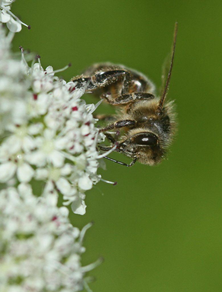 abeille bretonne sur oenanthe