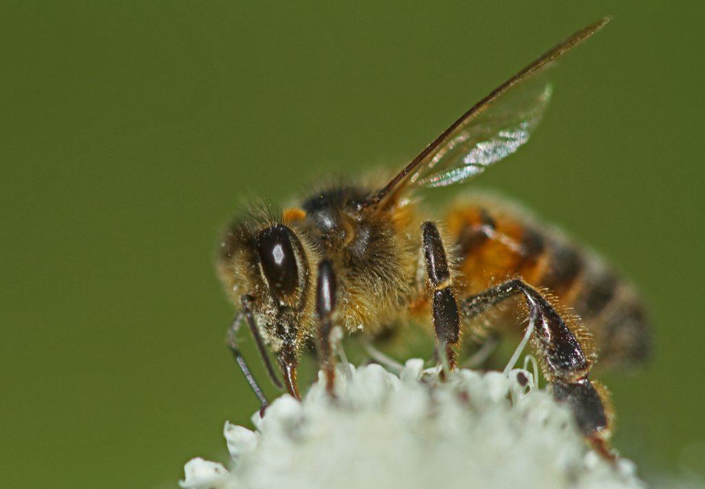 abeille hybride sur oenanthe