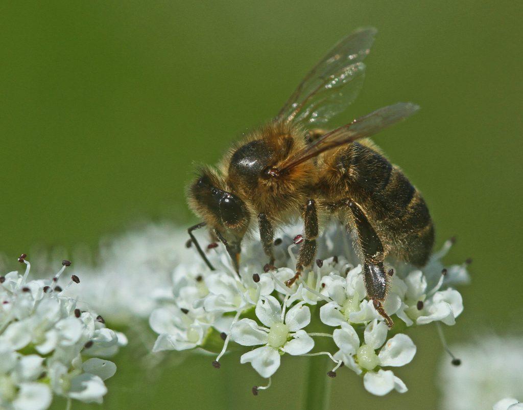 abeille sur oenanthe