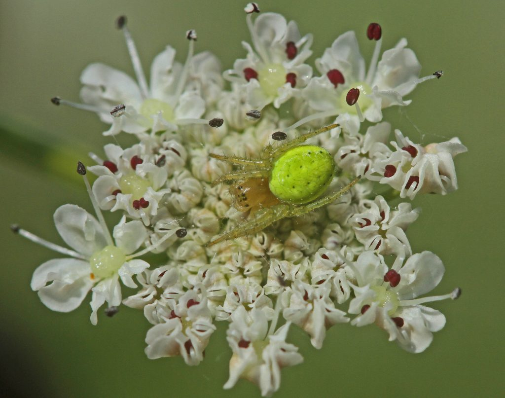 araignée tomise sur oenanthe