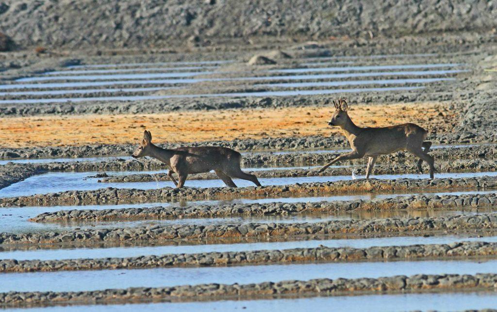 couple de chevreuil sur le marais de truscat