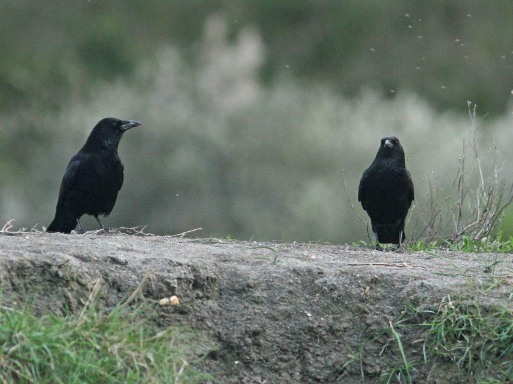 corneilles noires