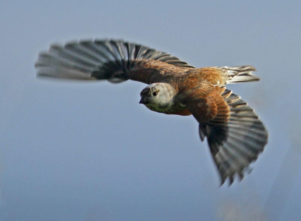 linotte mélodieuse mâle en vol